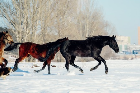 A herd of horses running in the snow field