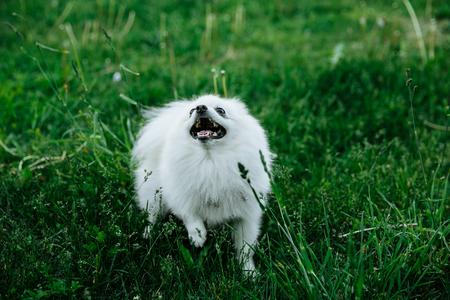 Barking white Pomeranian dog on the green grass