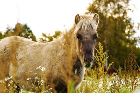 Icelandic foals standing in rural field. Denmark. Farm