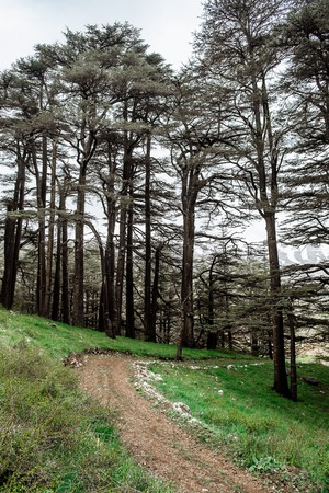 The cedar forest in Lebanon in the fog. Фото со стока - 119274147