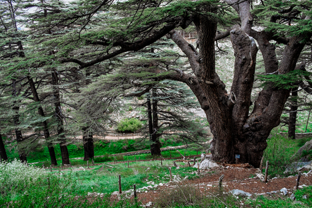 The cedar forest in Lebanon in the fog.