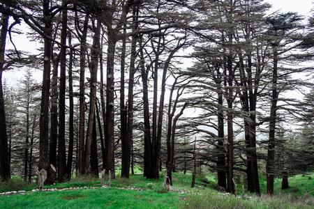 The cedar forest in Lebanon in the fog.
