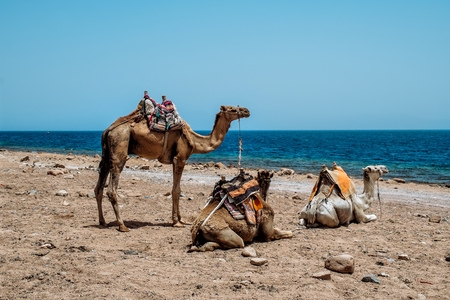 Camel on the beach at a Red sea. Dahab,Sinai, Egypt. Stock fotó