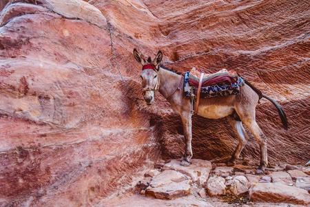 Mule at Petra Mountains in Jordania Stok Fotoğraf