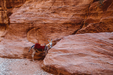 Mule at Petra Mountains in Jordania Imagens