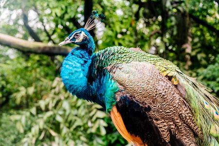 peacock at the bird park in Kuala Lumpur Banco de Imagens