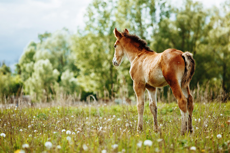 The picture shows a small foal,a field,grass,sky.Foal grazing in the meadow. Reklamní fotografie