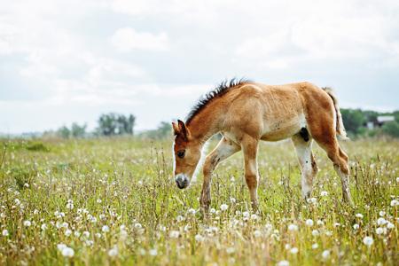 La photo montre un petit poulain, un champ, de l'herbe, un ciel. Poulain paissant dans le pré.