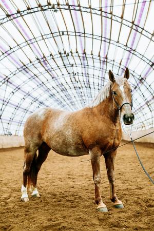 Das rote Sportpferd steht in der Arena