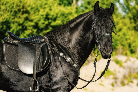 portrait of black Friesian horse in summer, autumn in the field Imagens