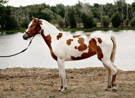 Gorgeous pinto horse with nice bridle standing.
