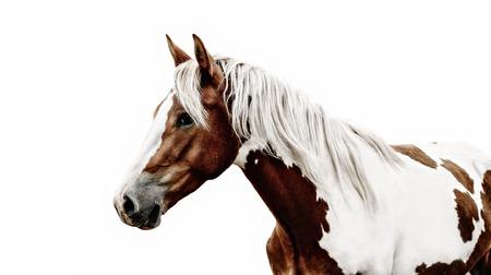 Magnifique cheval pinto avec une belle bride debout.