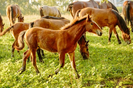 a young bay Foal with a small white spot is running on a green summer meadow Imagens