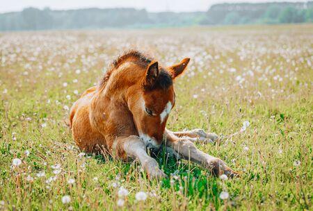 Petit poulain se reposant dans l'herbe verte avec des fleurs