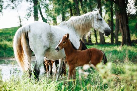 horse and foal came to the river to drink water