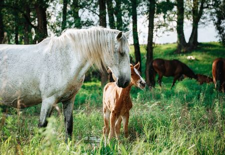foal and mare horses white and brown in the meadow in summer time