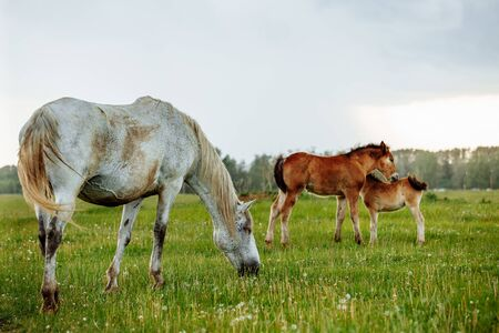 Two foals playing together on the maedow. Summer time