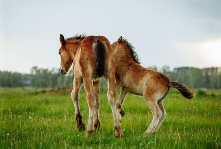 Two foals playing together on the maedow. Summer time Imagens