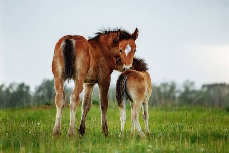 Two little foal scratching each other in a meadow, summer time