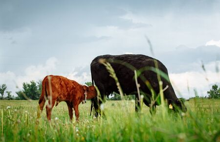 Brown with white calf drinking milk from mother cow in green meadow Banco de Imagens