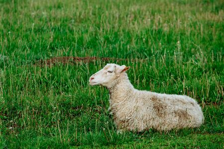 Sheeps in a meadow on green grass field