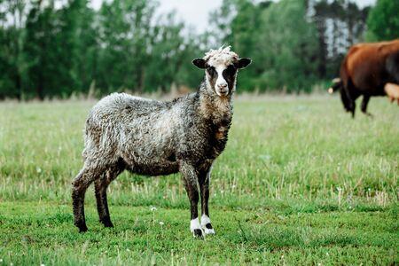 Sheeps in a meadow on green grass field