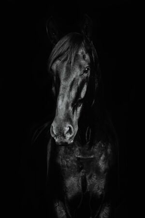 Portrait of a beautiful black horse on the black background.