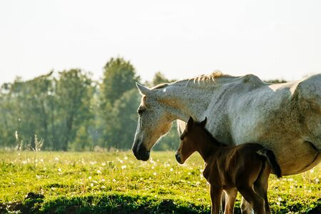Jument grise debout avec poulain dans le champ d'été