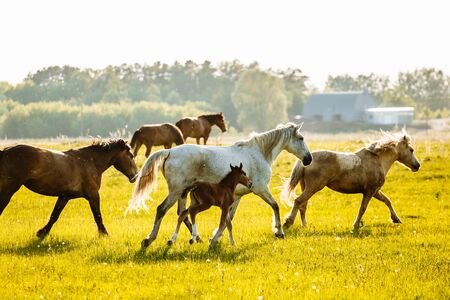 Herd of Horses Back to the Pasture in the Countryside. Herd. Evening. Russia
