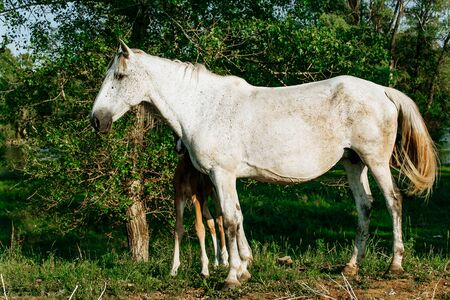 Gray mare standing with foal in summer field