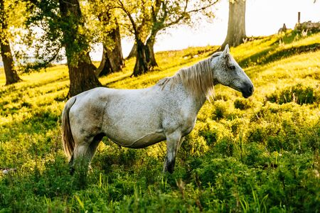 portrait of grey trotter horse standing in forest. background of autumn colorful forest.