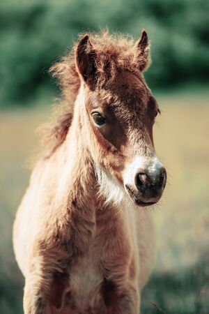 Cute little Haflinger horse foal, blond chestnut, standing alertly in a meadow, portrait