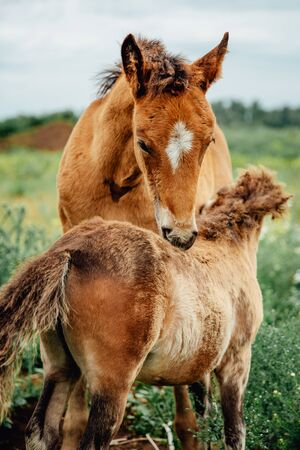 two brown horses grooming each other in summer field