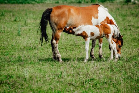 Pinto colored, Brown and white, Icelandic horse mare feeding its young foal in a green field of tall grass