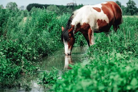 Horses are walking by the river and drinking water, summer time