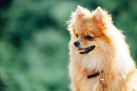 Pommeren hond op een wandeling. Leuke hond buiten. Mooie hond