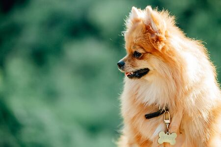 Pomeranian dog on a walk. Cute Dog outdoor. Beautiful dog Stock Photo