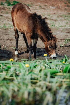 Closeup Side view of Beautiful brown horse eating grass and drinking water in meadow and green field in summertime alone