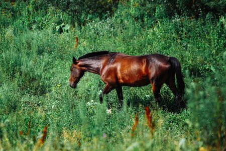A brown horse looking at the camera with head raised and ears forward. 免版税图像