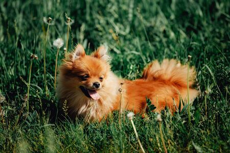Cute pomeranian spitz puppy is walking on a green meadow. Pet animals. Stockfoto