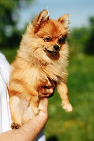 Puppy Pomeranian. Man holds his puppy in hands