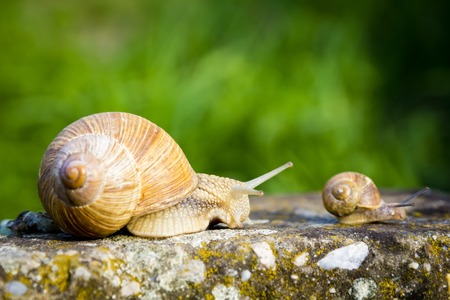 One big snail and one small snail walking on concrete photo