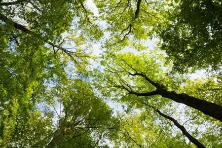 春の暖かい日差しが輝いている背の高いブナの木の天蓋 写真素材 - 30934190