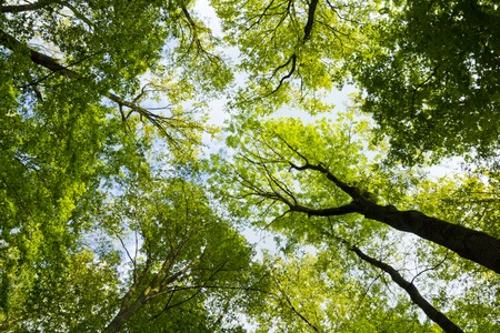 De warme lente zon schijnt door het bladerdak van hoge beuken bomen Stockfoto