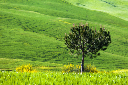 Landscape Green field with yellow flowers; blue sky and conifer tree. Tuscany; Italy Standard-Bild