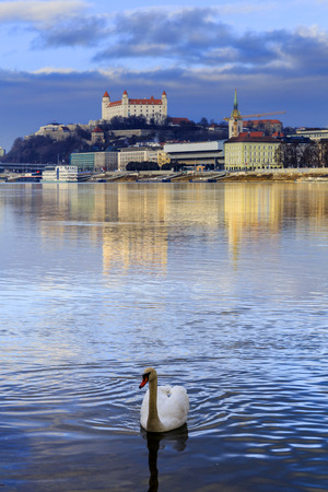 Swan on Danube river, Bratislava castle and st. Martins church, blue winter morning, Slovakia