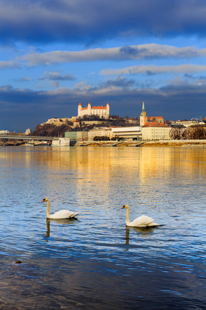 Swan couple lovers on Danube river, Bratislava castle and st. Martins church, blue winter morning, Slovakia