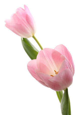 two lovely pink tulips isolated on white
