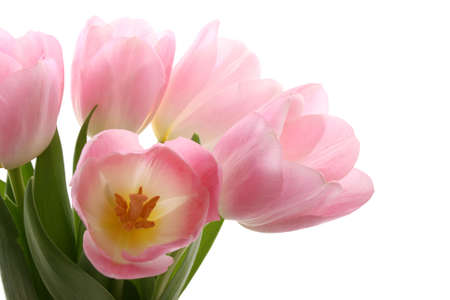 bunch of lovely pink tulips isolated on white - spring time Stock Photo