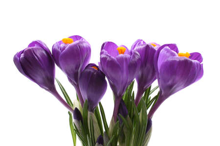 close-ups of lovely crocuses isolated on white Stock Photo - 831688